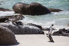 Penguins out of the ocean. Royalty Free Stock Photo