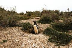 Penguins in Patagonia Peninsula de valdes Argentina, Magellanic Penguin. Pinguinos invernando stock photo