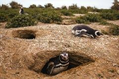 Penguins in Patagonia Peninsula de valdes Argentina, Magellanic Penguin. Pinguinos invernando stock images