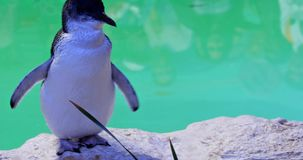 Penguins at Penguin Island. Close up of cute little penguin at Penguin Island in Rockingham, near Perth, Western Australia. A second penguin on blurred stock video footage
