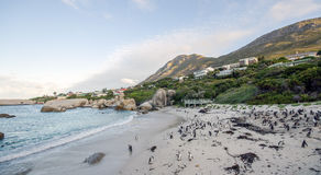 Penguins. Picture shows Penguins at the Beach in the South African Town Simons Town Stock Images