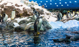 Penguins Playing Stock Photos
