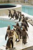 Penguins at a pool royalty free stock image