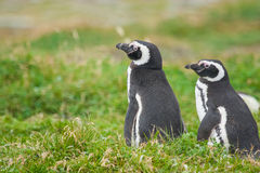 Penguins in Punta Arenas. A close up of two magellanic penguins standing on a meadow in Punta Arenas, Chile Royalty Free Stock Images
