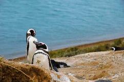 Penguins at Punta Delgada in Península Valdés stock photo