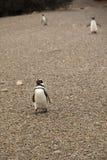 Penguins at Punta Tombo, Argentina. Penguins in the national park of Punta Tombo, Argentina Stock Photo