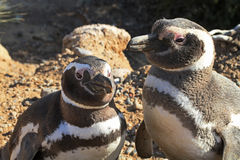 Penguins in Punto Tombo, Argentina. Royalty Free Stock Image