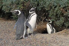 Penguins in Punto Tombo, Argentina. Stock Photo