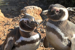 Penguins in Punto Tombo, argentinian Patagonia. Stock Photography
