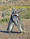 Penguins in Punto Tombo, argentinian Patagonia. Royalty Free Stock Photo