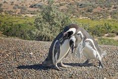Penguins in Punto Tombo, argentinian Patagonia. Royalty Free Stock Image