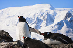 Penguins on rock Royalty Free Stock Image