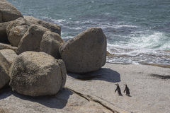 Penguins on a rock at Boulders Beach in Simonstown Stock Image