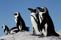 Penguins on a rock. A penguin colony sitting on a rock in the sun royalty free stock images