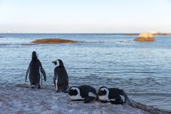 Penguins on rock by the water Stock Photos