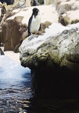 Penguins on rocks, looking down. Stock Photos