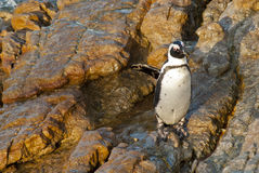 Penguins on a rocky beach Royalty Free Stock Photography