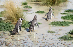 Penguins running in dirt royalty free stock images