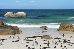 Penguins on the savage beach  at Cape of good hope reserve Royalty Free Stock Photos