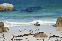 Penguins on the savage beach  at Cape of good hope reserve Royalty Free Stock Images