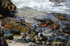 Penguins  on the savage beach and rocks in betty's bay - Hermanus Stock Images