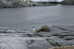 Penguins and seal in Useful Island, Antarctica Stock Image