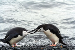 Penguins on the seashore Royalty Free Stock Photography