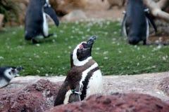 Penguins, SeaWorld, Σαν Ντιέγκο, Καλιφόρνια Στοκ φωτογραφία με δικαίωμα ελεύθερης χρήσης