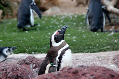 Penguins, SeaWorld, San diego, California Royalty Free Stock Photography