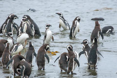 Penguins on shore in Chile Stock Photography