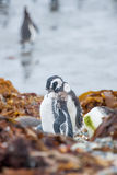 Penguins on shore among leaves in Chile Stock Photography
