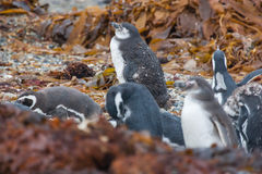 Penguins on shore among leaves Royalty Free Stock Images