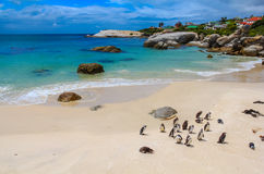 Penguins at Simons Town stock image