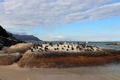 Penguins in Simonstown. In 1985, a colony of protected South African penguins settled on the beach at Boulders Beach in Simonstown. Soon, Boulders Beach became a royalty free stock photos