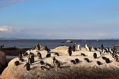 Penguins in Simonstown. In 1985, a colony of protected South African penguins settled on the beach at Boulders Beach in Simonstown. Soon, Boulders Beach became a stock photography