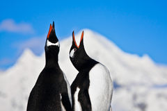Penguins singing Stock Images