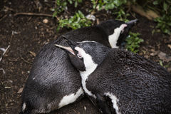 Penguins sleeping Stock Photo