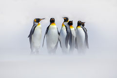 Penguins in the snow. Group of King penguins coming to sea beach with wave a blue sky. Birds on the beach. Funny penguins image. W royalty free stock photography