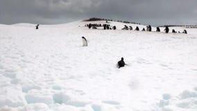 Penguins on snowy rocky coast in ocean of Antarctica. stock footage