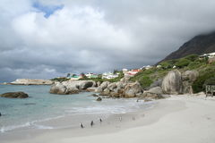 Penguins in South Africa Stock Images