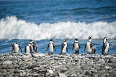 Penguins, South Africa Royalty Free Stock Photos