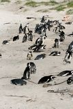Penguins in South Africa Royalty Free Stock Photography
