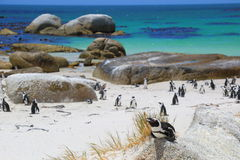 Penguins of South Africa. Endangered African penguins at Boulders Beach in Western Cape, South Africa stock photo