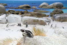 Penguins of South Africa. Endangered African penguins at Boulders Beach in Western Cape, South Africa royalty free stock photos