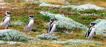 Penguins in South America Stock Photos