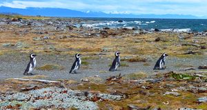 Penguins in South America Stock Image