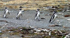 Penguins in South America Stock Photo