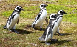 Penguins in South America Royalty Free Stock Photo