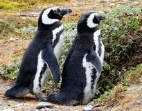 Penguins in South America Stock Photography