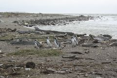 Penguins, Southern Chile Royalty Free Stock Photography